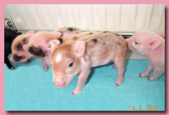 Wiesenauer minischweine